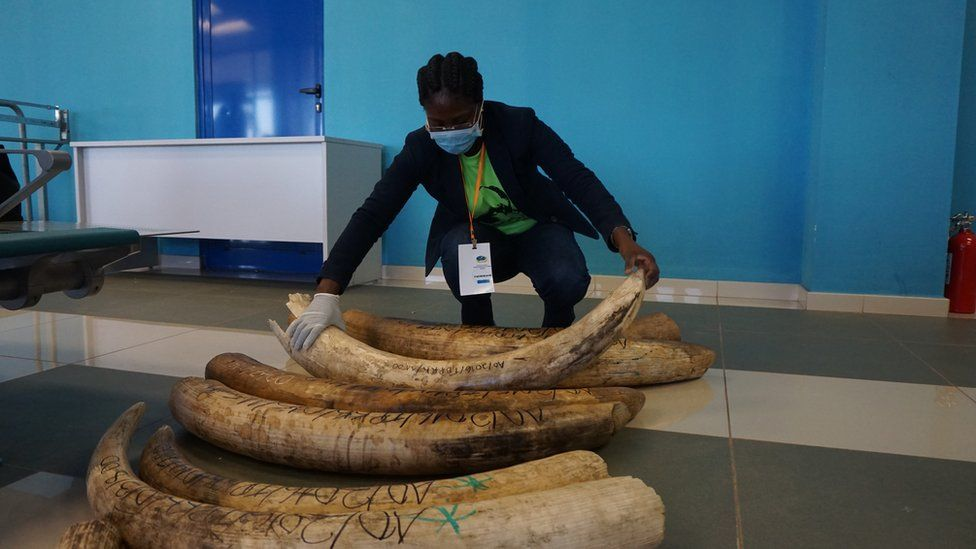 Official lifting ivory in Angola, June 2016