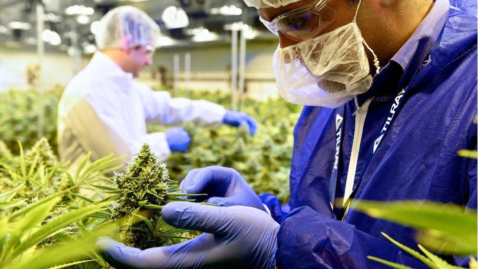 Tilray's cannabis growing room