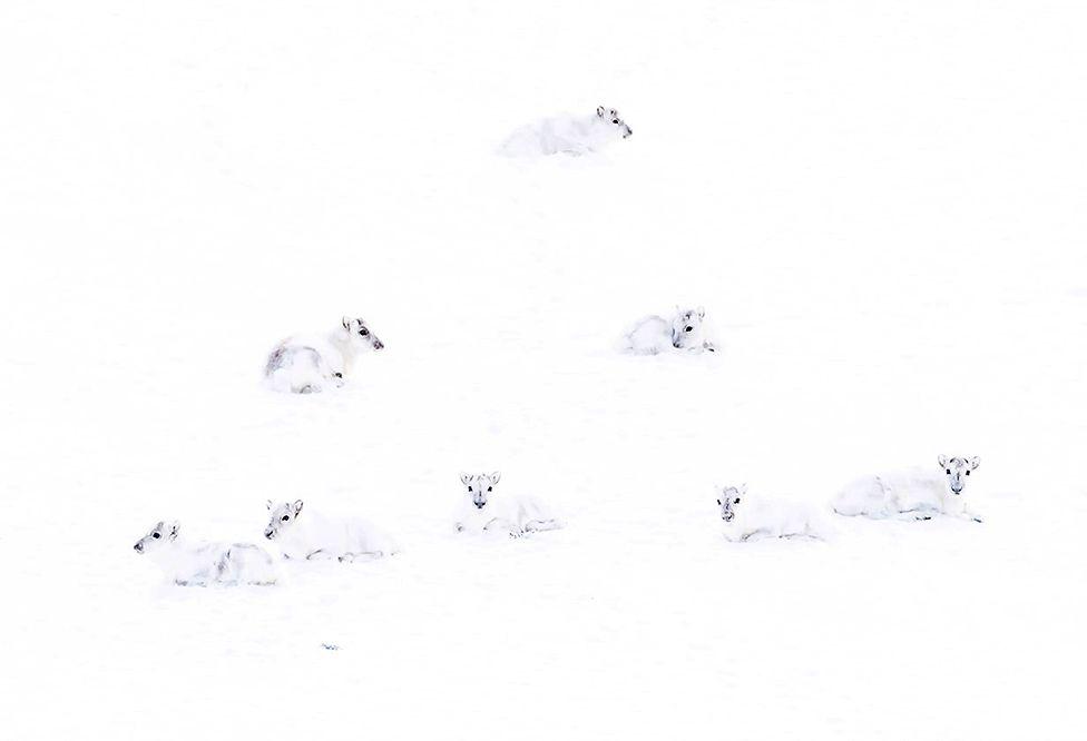 Renos blancos del �rtico en la nieve