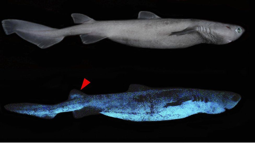 Lateral and dorsal luminescent pattern of Dalatias licha (kitefin shark)