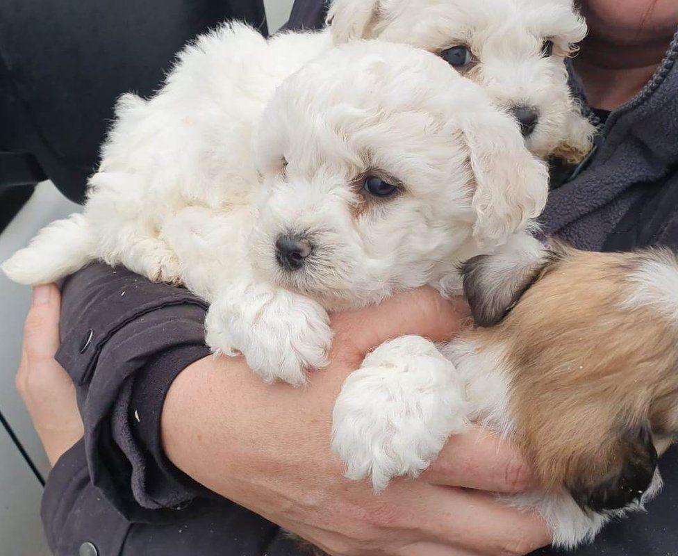 PSNI rescue 31 dogs in illegal puppy sale crackdown - BBC News