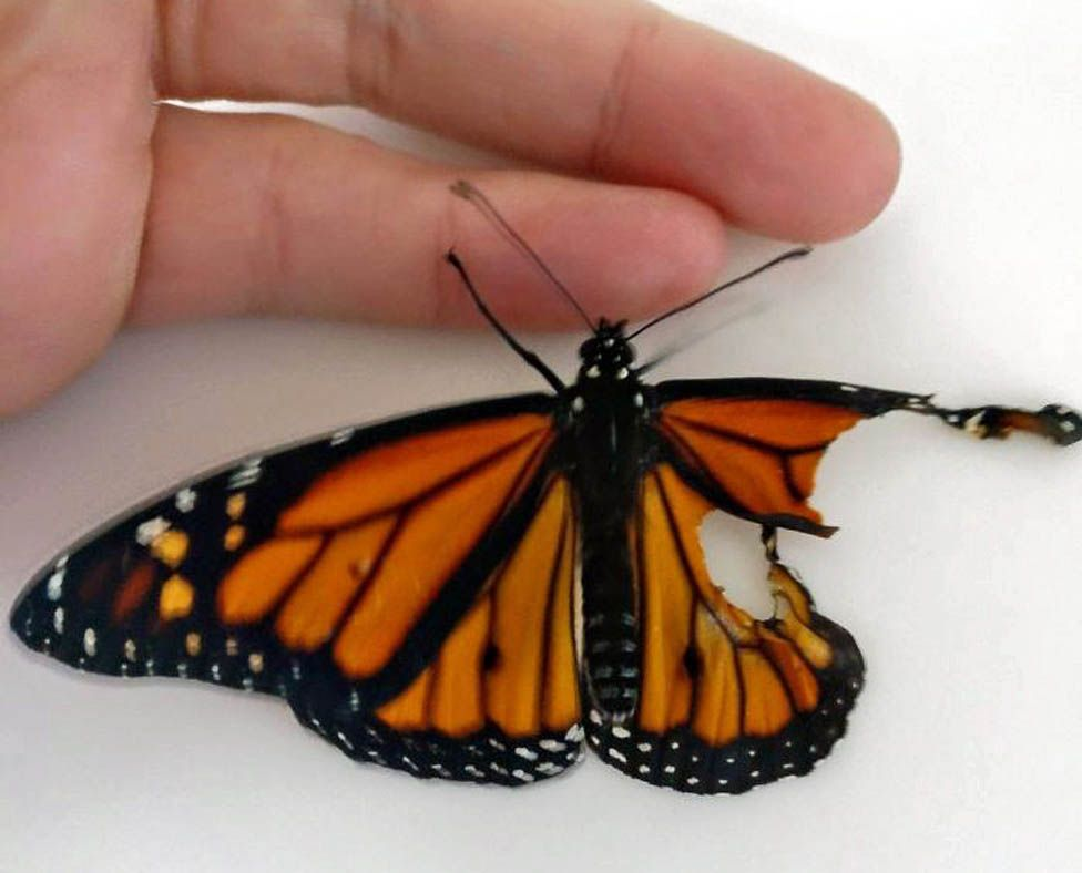 Butterfly with damage to right wing