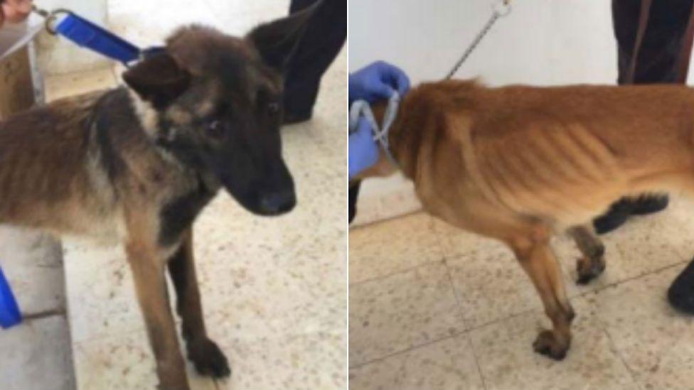 Underweight sniffer dogs in Jordan
