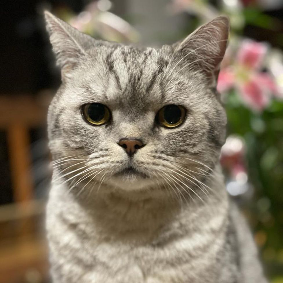 Photo of Eddie, a silver tabby British Shorthair
