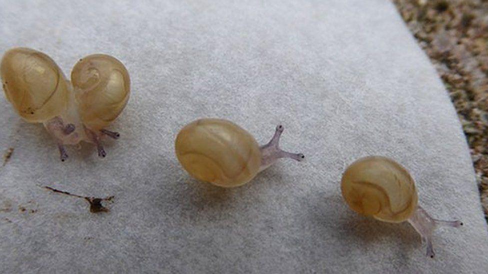 Jeremy the 'lefty' snail's babies