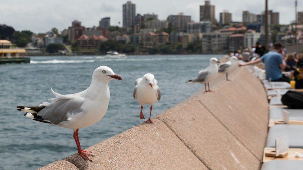 Australian seagulls carry antibiotic-resistant superbugs