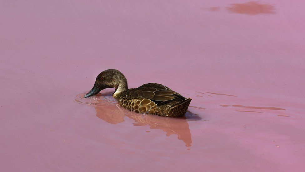 A duck in a pink lake in Melbourne