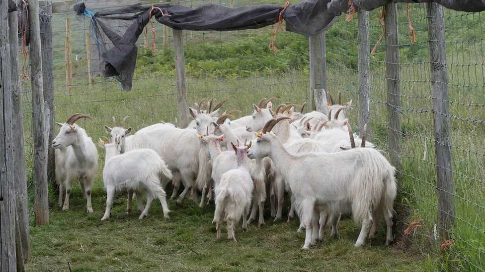 The goats in a pen
