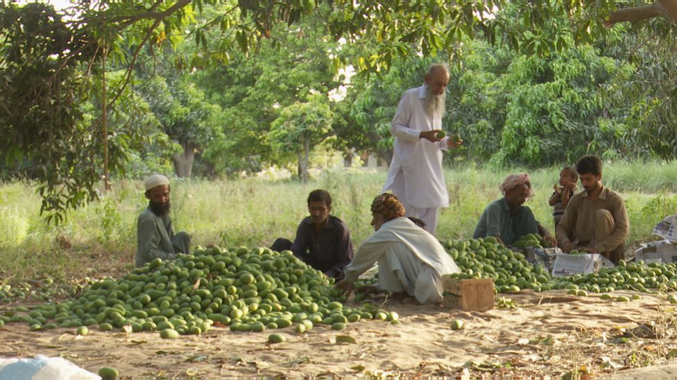 Mango in Pakistan