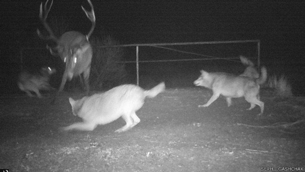 Групповая охота на оленя длилась целых три дня. Фото с сайта ВВС News Украина