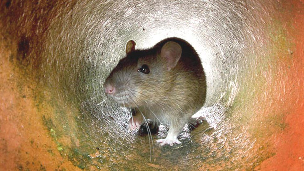 Rat in a pipe, London