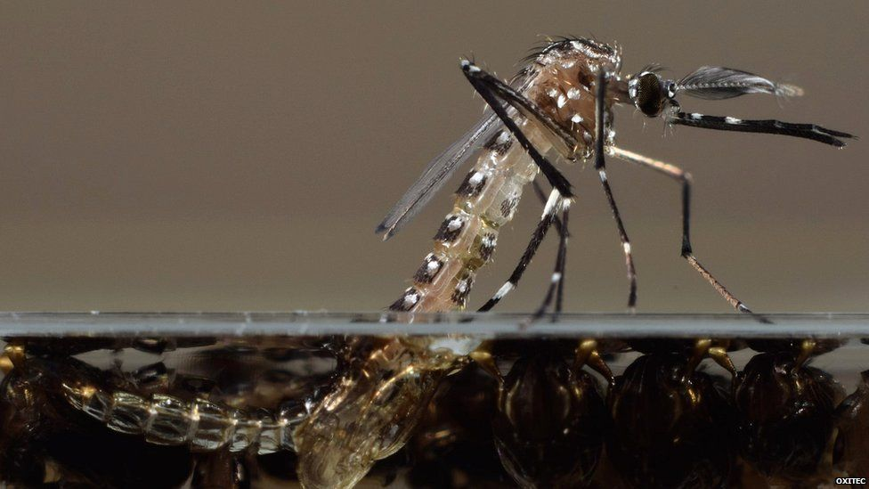 Aedes aegypti emerging from larval stage