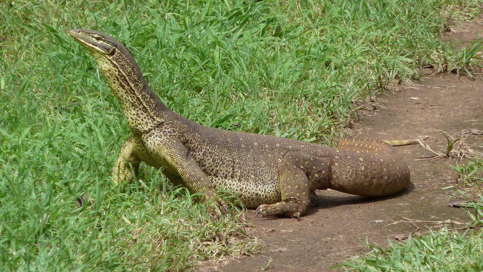 A monitor lizard stands on grass