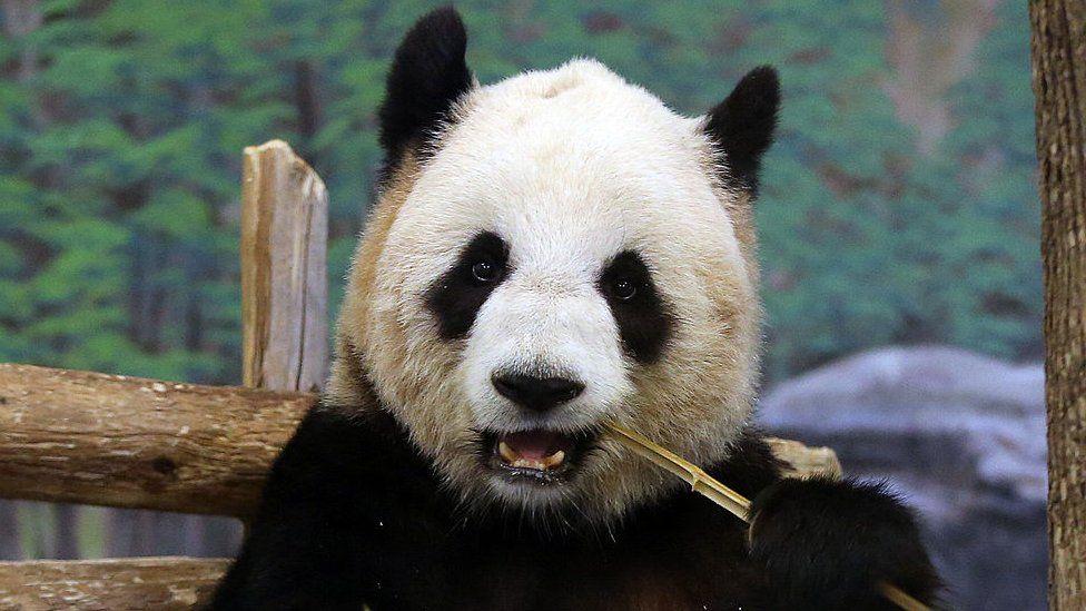 Panda Er Shun eating bamboo at the Toronto Zoo in 2014