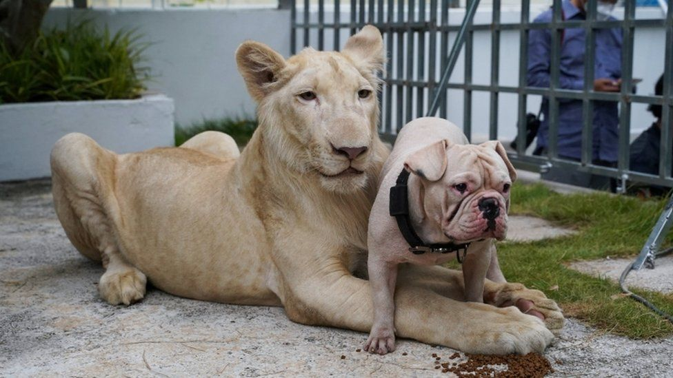 A confiscated pet lion poses with a dog as it arrived back home from the Phnom Tamao Wildlife Rescue Center