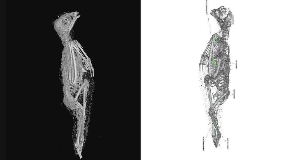 The soft tissue (left) and skeletal remains (right) of the Eurasian kestrel