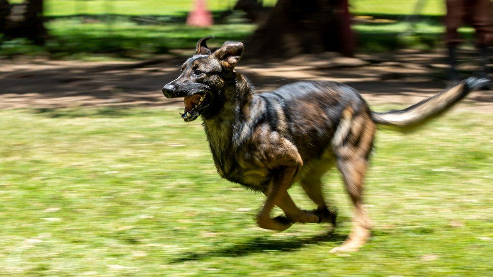 A Malinois dog running during training in Arusha, Tanzania