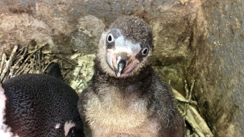 Penguin chick at Curraghs Wildlife Park in Isle of Man