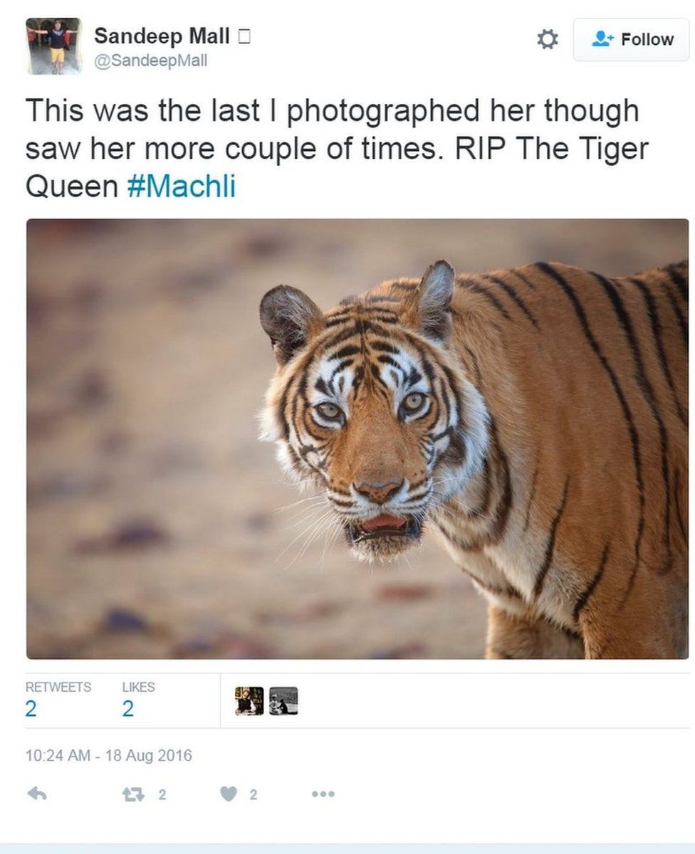 'This was the last I photographed her though saw her more couple of times. RIP The Tiger Queen #Machli' writes Sandeep Mall on Twitter