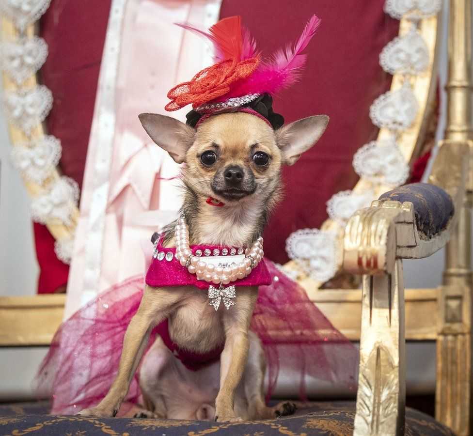 Dog in pink gown and jewellery