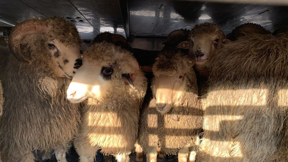 Some of the rescued sheep