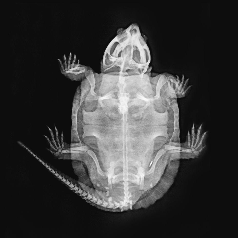 Nasi - big-headed turtle (Platysternon megacephalum)