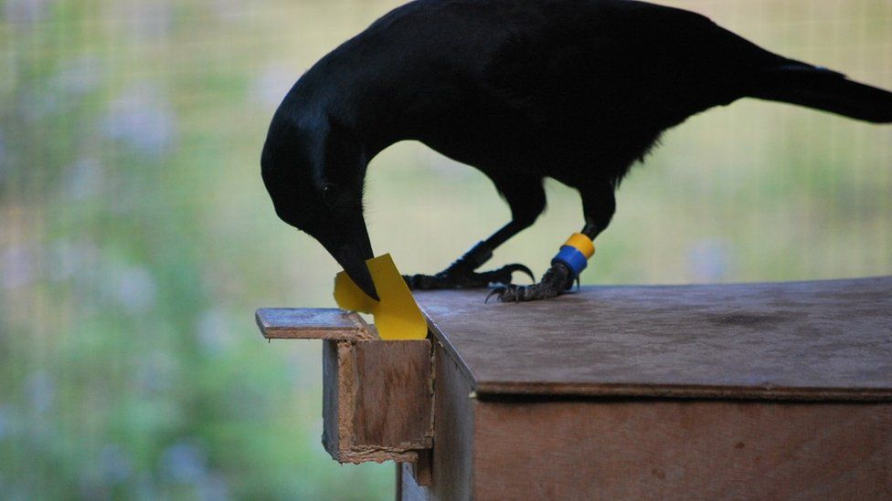 New Caledonian crow operating a special vending machine