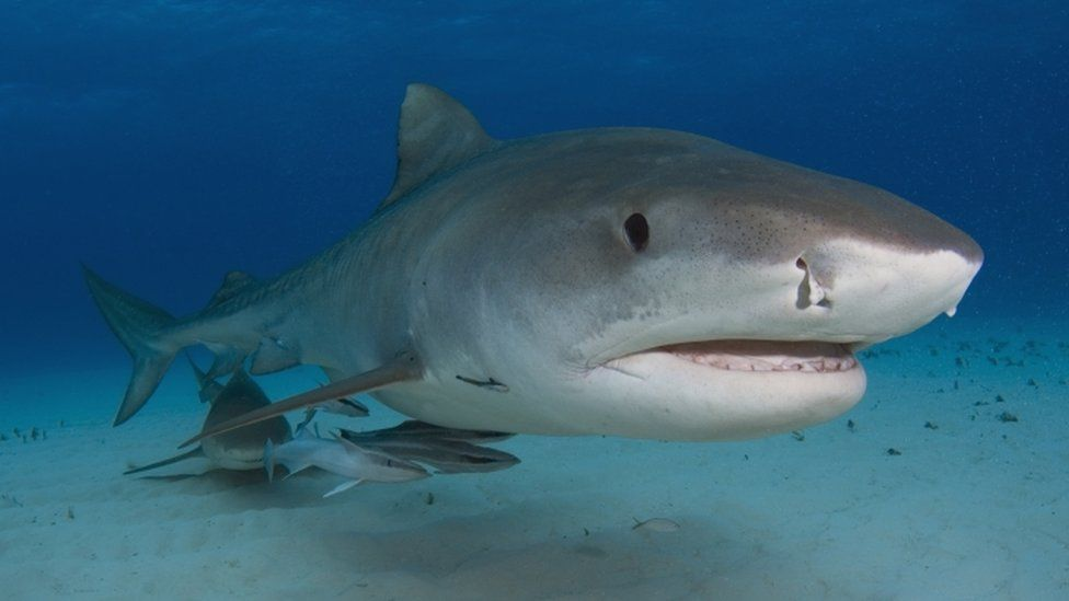 A picture of a tiger shark underwater