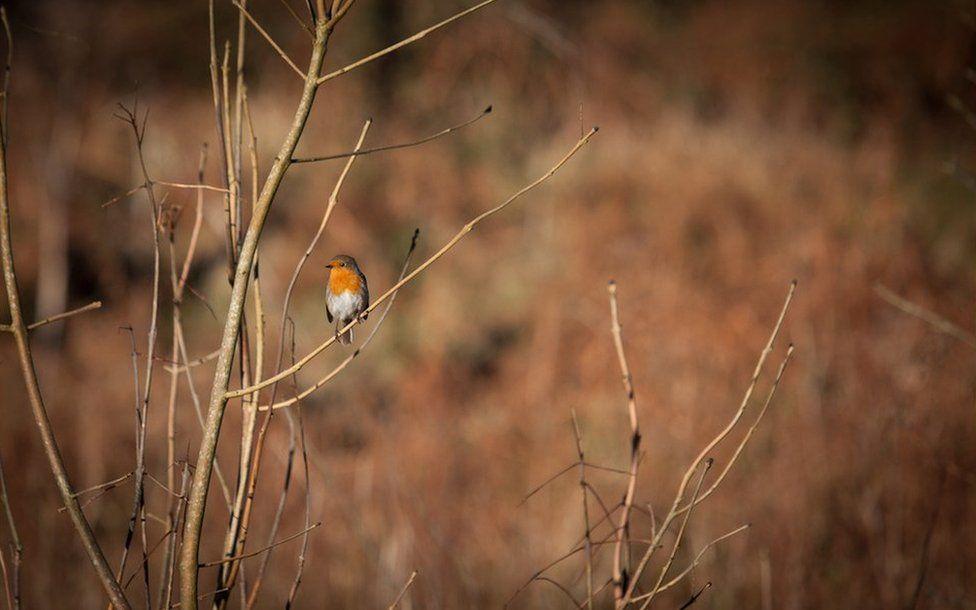 Robin Goch yng Ngwaun Hepste ger Ystradfellte ym Mannau Brycheiniog