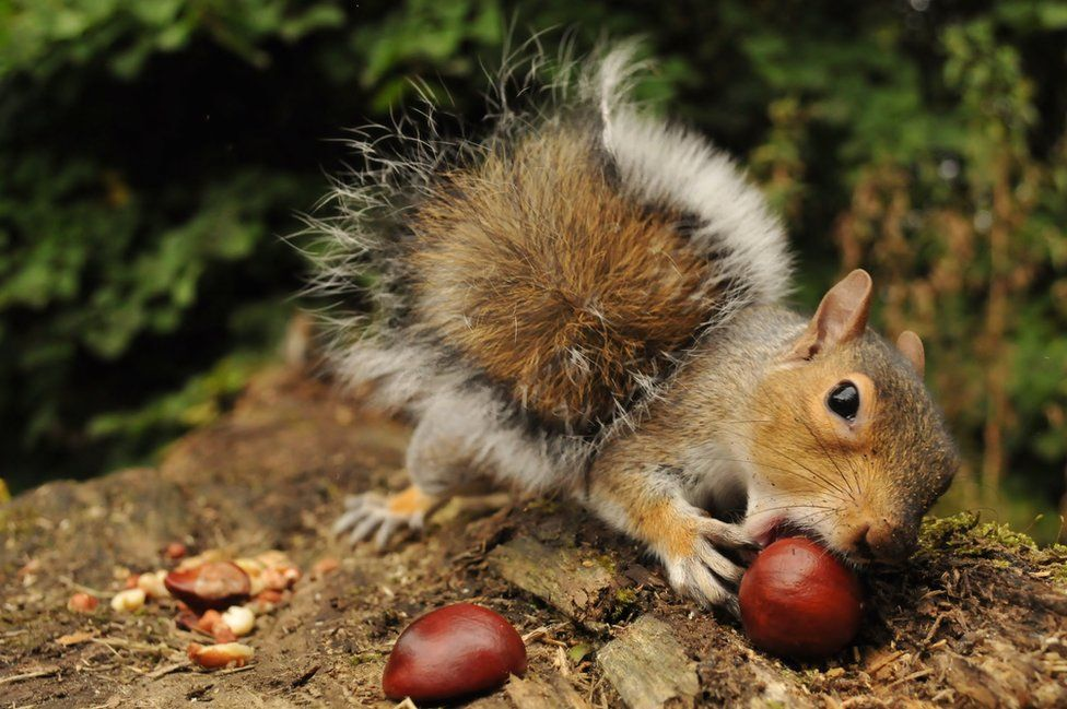 Squirrel with conkers