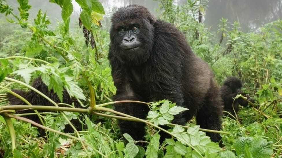 Front view of mountain gorilla observing tourists in forest