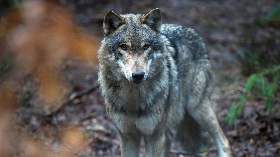 Wolves return to Netherlands after 140 years