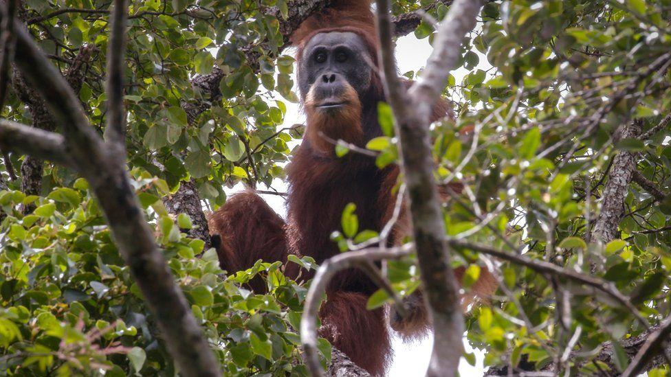 Orangutan in the wild