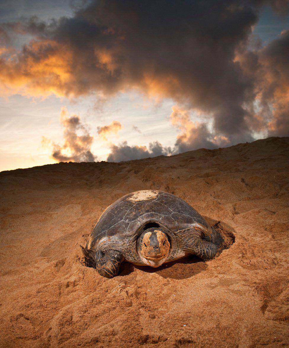Turtle - Ascension Island