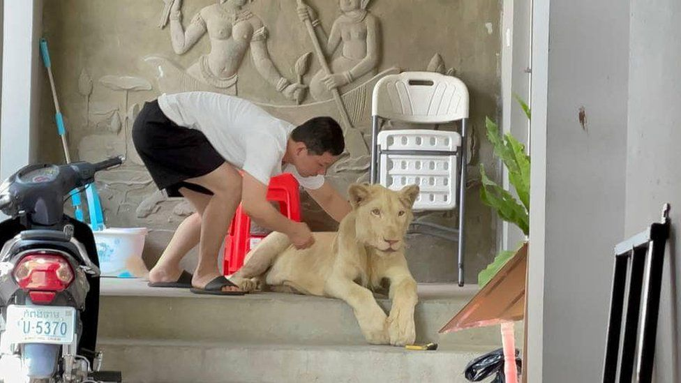 A lion is seen in Phnom Penh, Cambodia