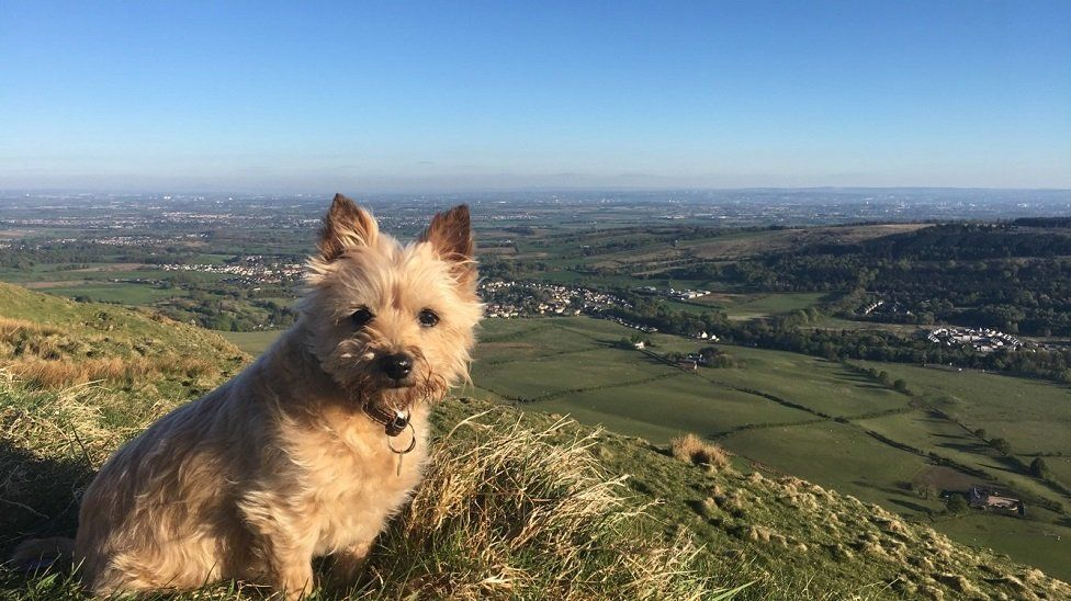 Cairn Terrier at the Campsies