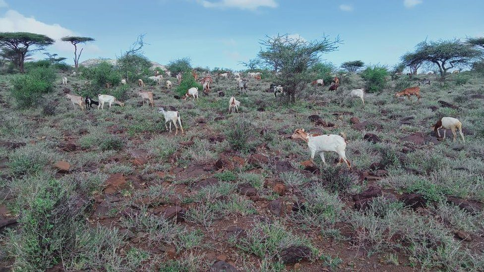 Goats graze in Marsabit county where there have been nice vegetation expansion due to good rains