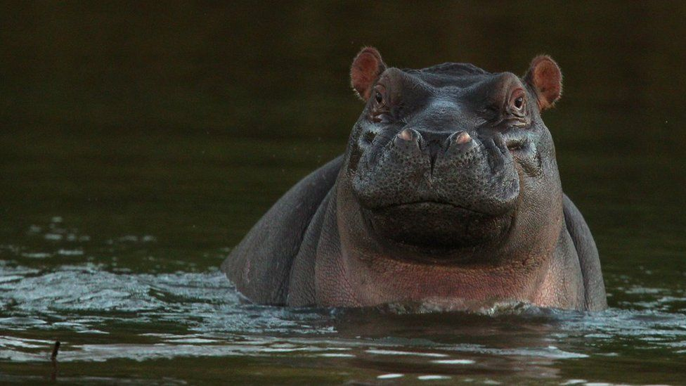 A hippopotamus sits in the Limpopo river at the Pafuri game reserve on July 22, 2010 in Kruger National Park, South Africa.