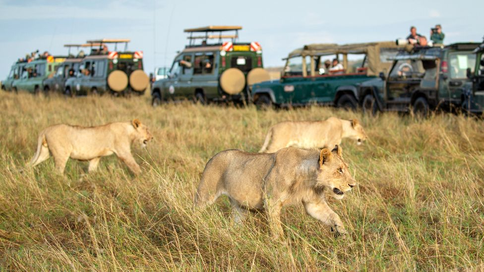Safari vehicles with tourists taking photos of lions in the Maasai Mara game reserve