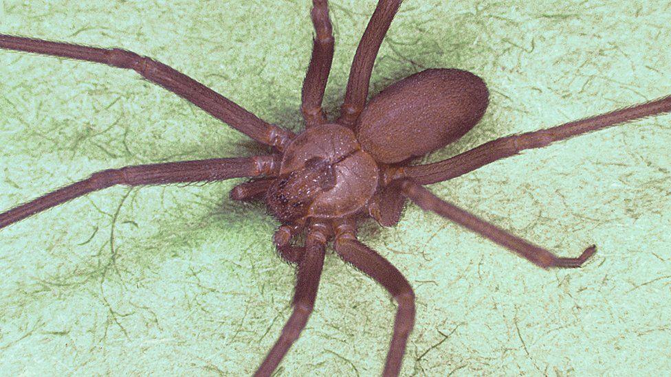 A brown recluse spider or Loxosceles reclusa