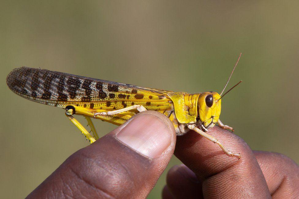 A hand holds a desert locust