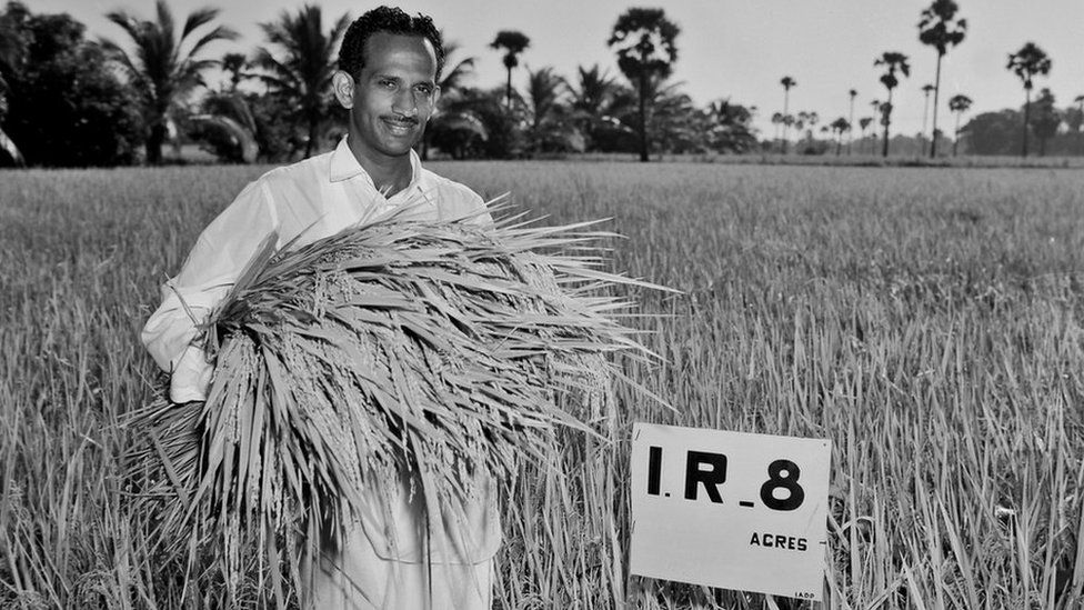 Mr Subba Rao harvesting the first IR8 harvest