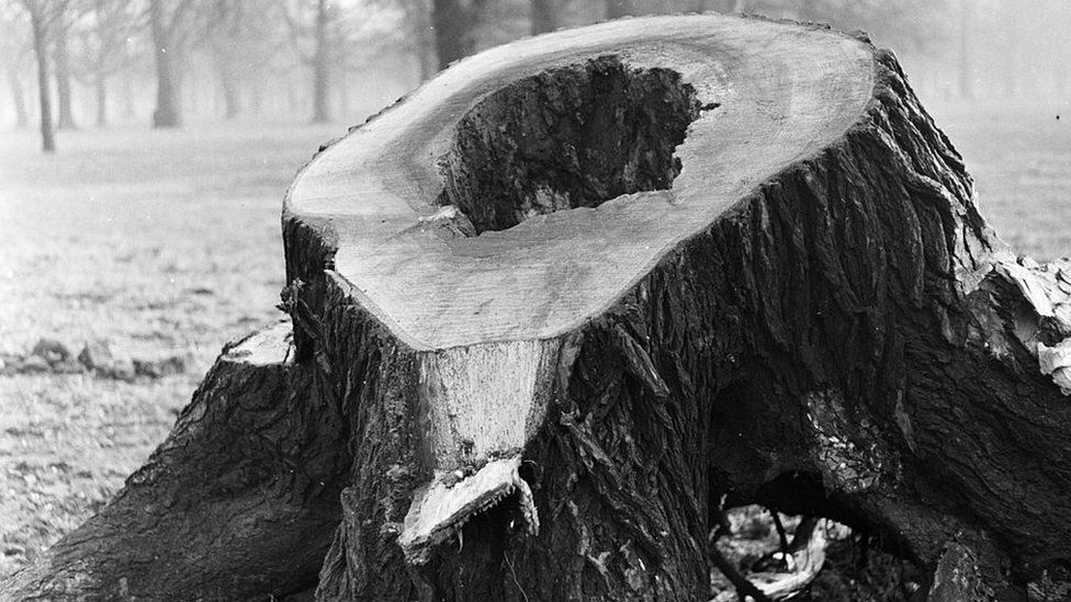 An elm tree apparently killed by Dutch elm disease