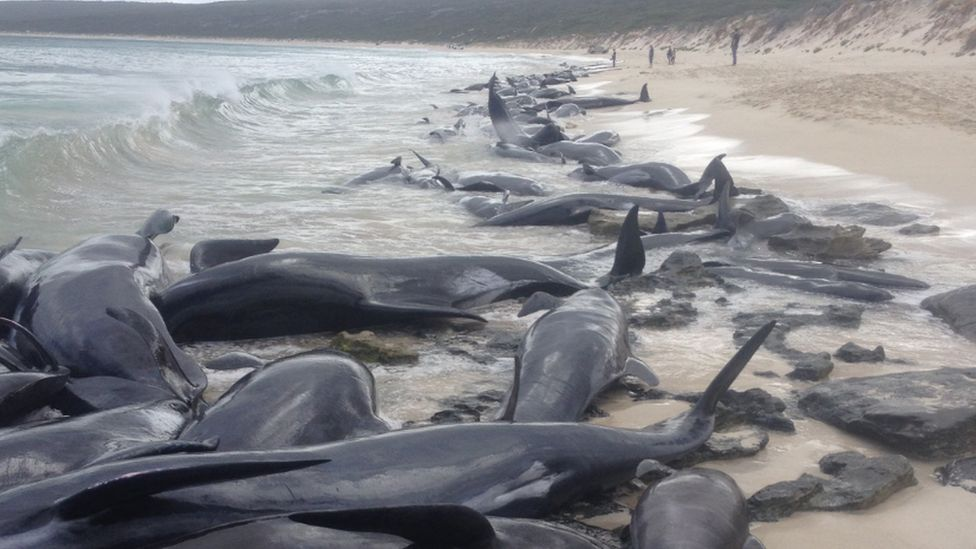 Dozens of whales are seen beached in Hamelin Bay, Western Australia