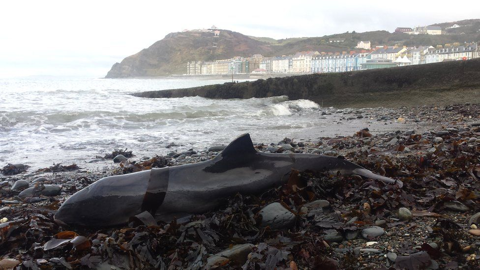 Stranded porpoise on beach in Wales