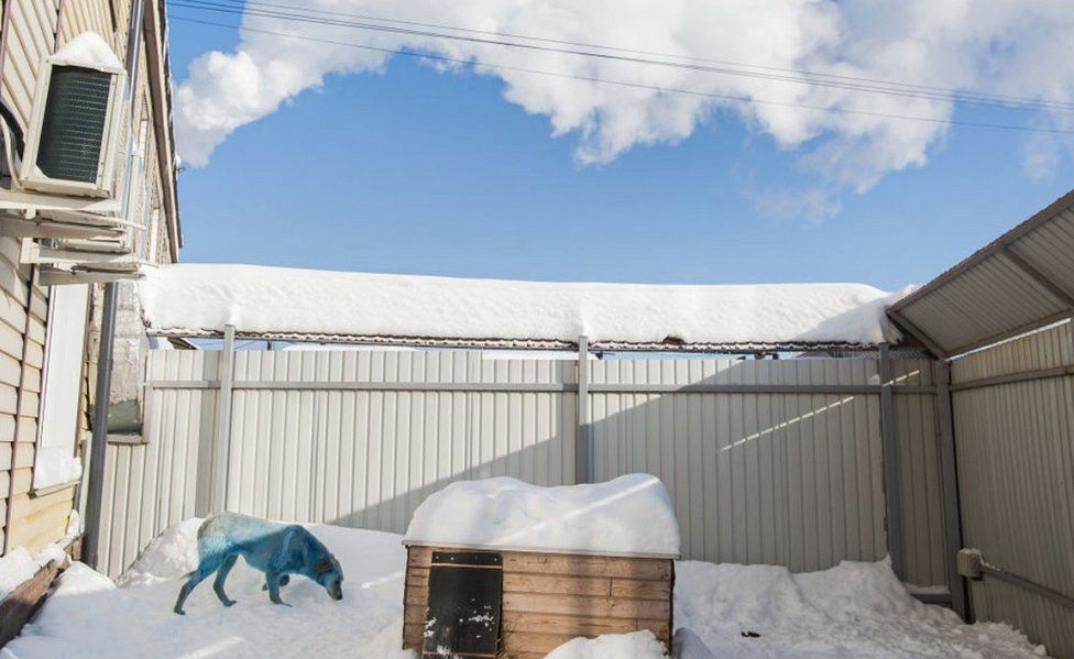Blue-coated dog at vets' in Nizhny Novgorod, Russia, 19 Feb 21