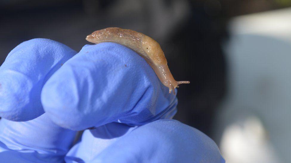 Deroceras reticulatum