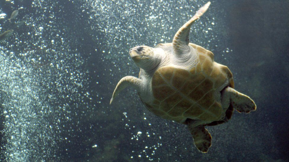 Archive photo of a loggerhead turtle in the Two Oceans Aquarium in Cape Town, South Africa