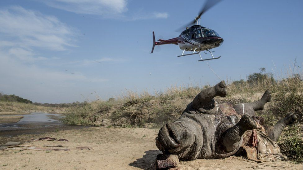 Helicopter in the air near the carcass of a dead rhino