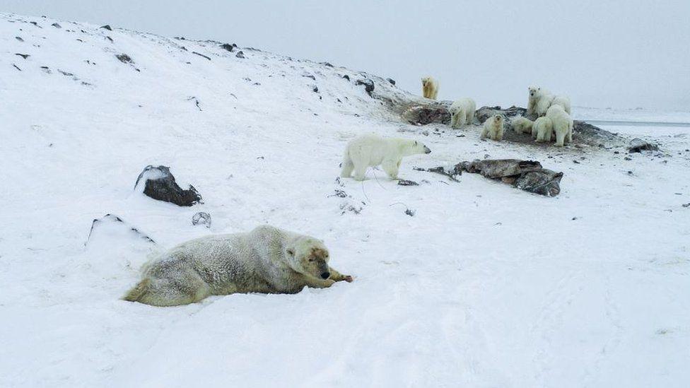 Polar bears in a group near the village